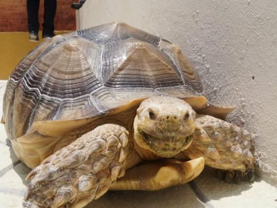Esta es la tortuga gigante que tus hijos querrán ver