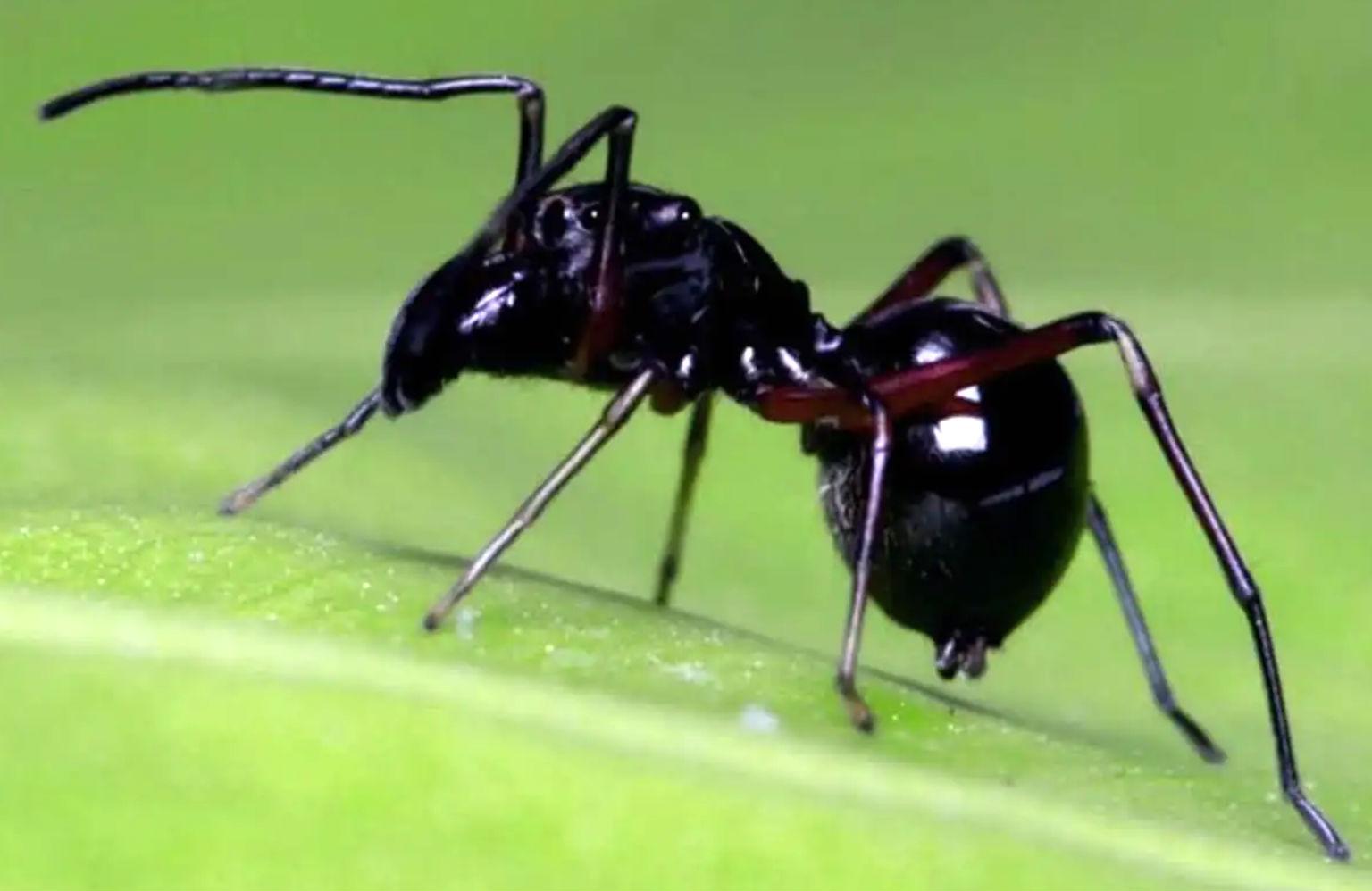 Araña  Toxeus magnus que da leche