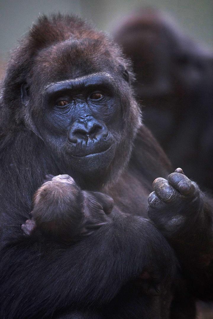 Bebé gorila, foto Patrick Bolger del  Zoológico de Dublín