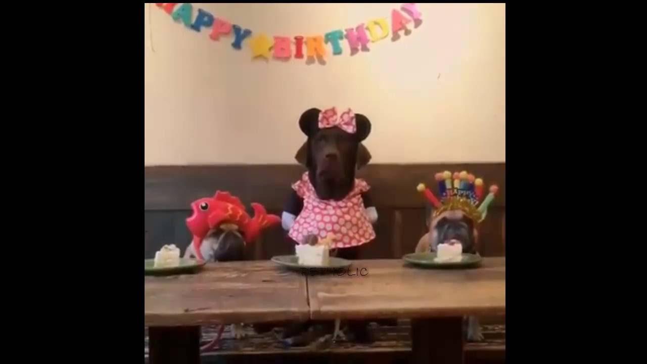 Labrador celebra su cumpleaños
