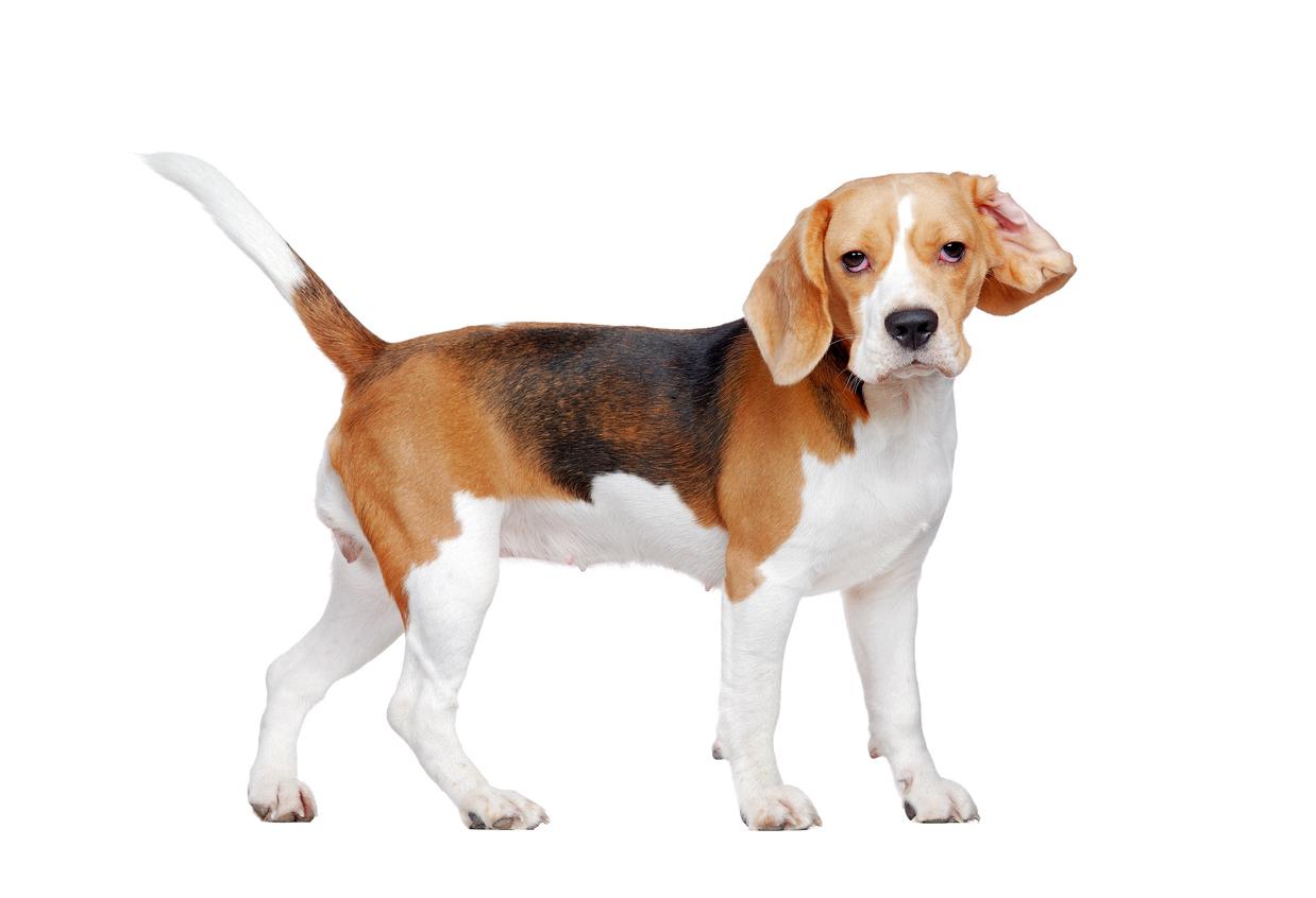 Perros pueden oler cáncer en la sangre