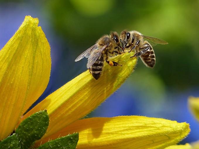 Las abejas tienen habilidades para sumar y restar: estudio