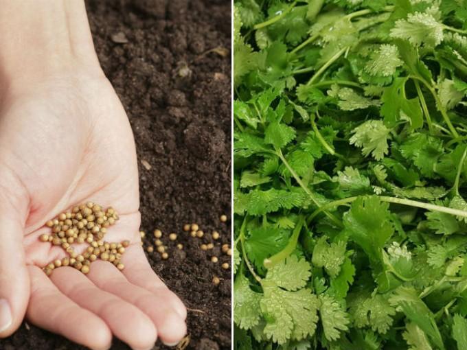 Cultiva cilantro en tu cocina en 3 pasos