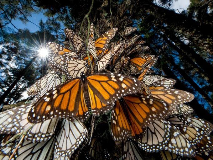Santuario de la Mariposa Monarca. Aquí no verás más verde del que las mariposas que vuelan de Canadá te permitan ver. En este espacio, las mariposas  tapizan el bosque de colores naranja, blanco y negro de sus alas. ( Foto:Hidroponia.mx).