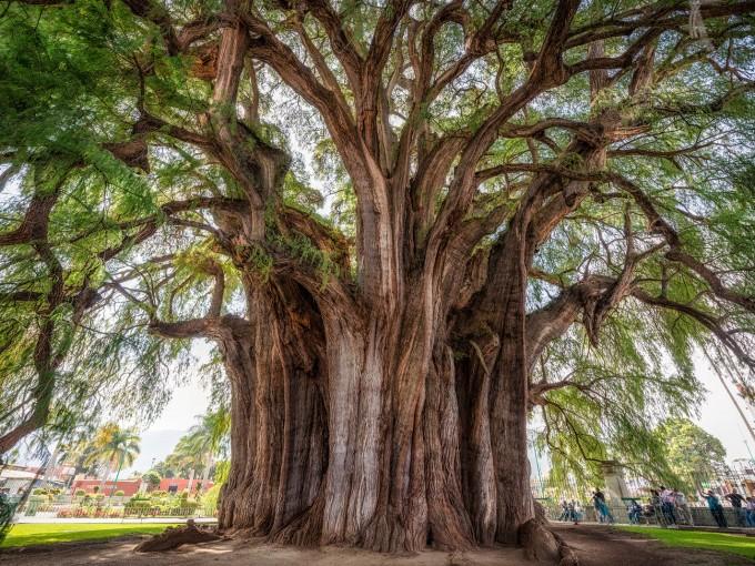 Tule milenario. Este árbol tiene 2000  años de antigüedad, aproximadamente, y es el árbol con el diámetro de tronco más grande del mundo con  14.05 metros. Lo mejor es que lo puedes encontrar en el atrio de la iglesia de Santa Ma. Del Tule en Oaxaca.(Foto: deviajepormexico.com)
