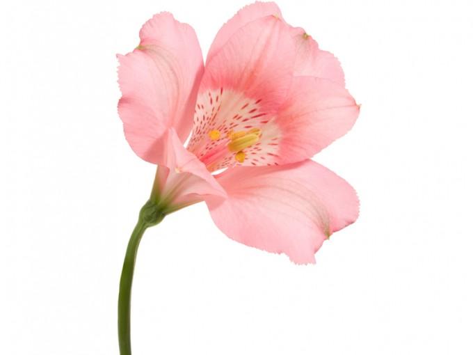 Son flores resistentes y voluminosas