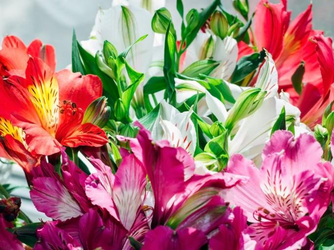 La alstroemeria, comunmente conocida como astromelia, es una flor de hojas enroscadas y flores coloridas. Simboliza la amistad y es perfecta para tener un detalle con un amigo o amiga