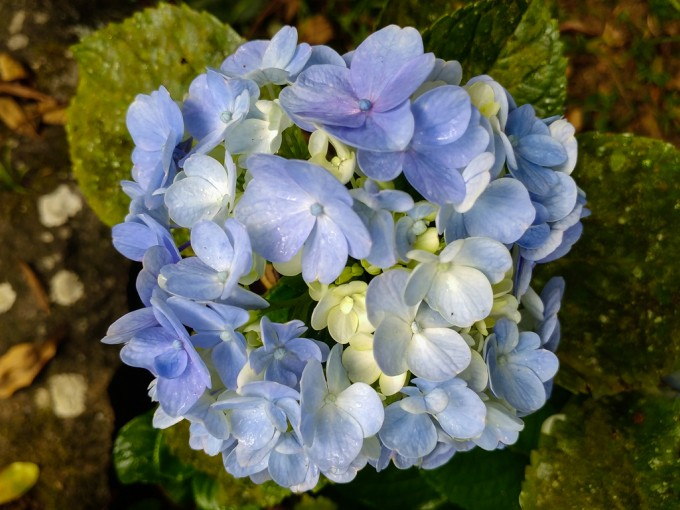 Las hortensias aman el color. Se pueden encontrar en diferentes tonos de rojo, rosa y púrpura, blanco, verde y azul, o con una combinación de varios colores. Además de estos tonos, también existen otras que experimentan cambios de color según avanza la estación