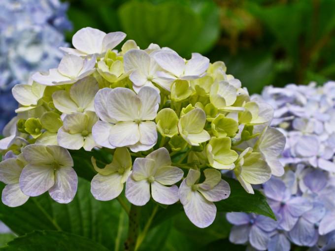 La hortensia es una flor cargada de simbolismo. Son símbolo de gratitud, de gracia, de belleza y también de abundancia, debido a la cantidad exuberante de flores y a su forma redonda tan generosa.