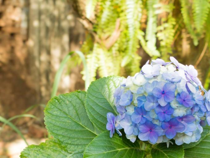Para ayudarla a crear flores durante toda la temporada, es recomendable aportarle un abono de floración específico para Hortensias y, también, podar los tallos de flores marchitos.