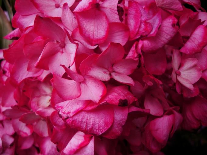 Son de las flores más bonitas del verano y que se mantiene activa hasta octubre.