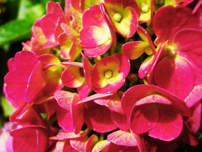 Para que luzca y florezca, la Hortensia necesita tierra ácida, enriquecida con minerales, pero sobre todo agua, mucha agua
