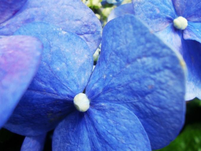 Una Hortensia plantada en un lugar bueno para ella puede llegar a tener un tamaño importante mayor al metro y medio de altura.