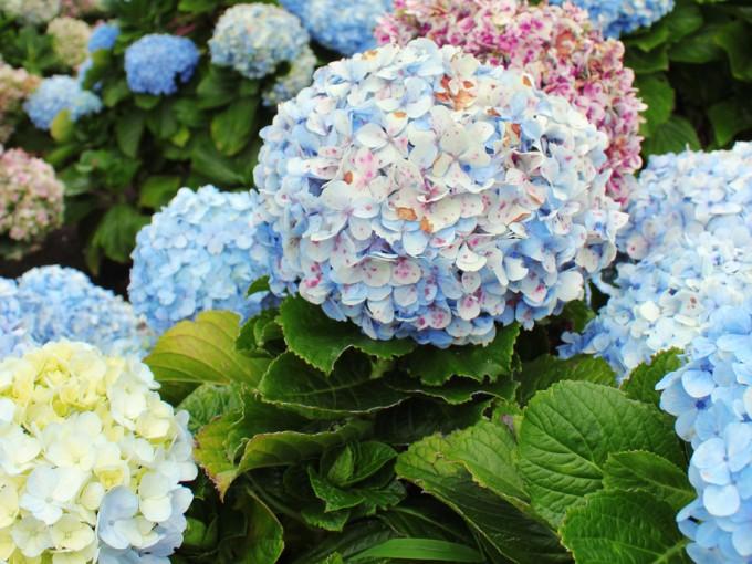El género Hydrangea, comúnmente conocidas como hortensias, son nativas del sur y el este de Asia (China, Japón, Corea, el Himalaya e Indonesia).