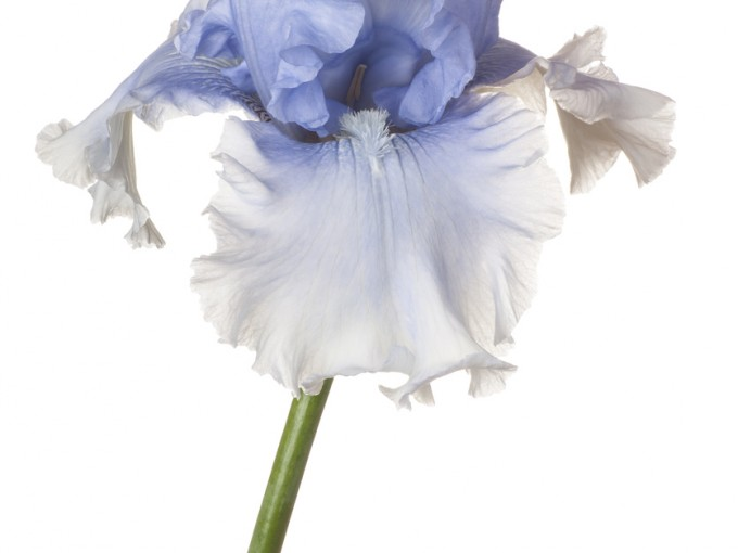 Es una planta muy hermosa que puede ser cultivada en jardines, pero requiere de mucha luz indirecta.