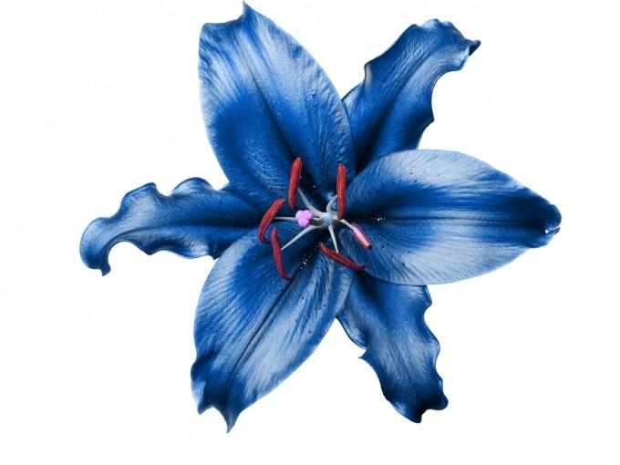 El lirio azul es sumamente exótico y apreciado.