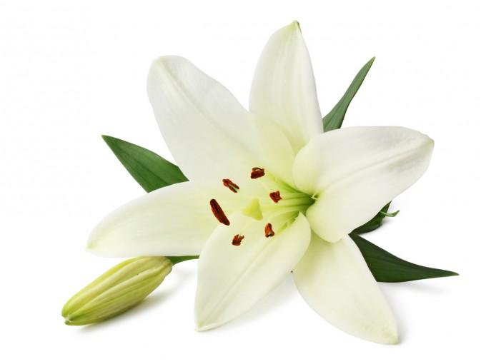 La flor tiene como hábitat natural las zonas montañosas o boscosas, pero también se adapta a los pantanos y a climas diversos.