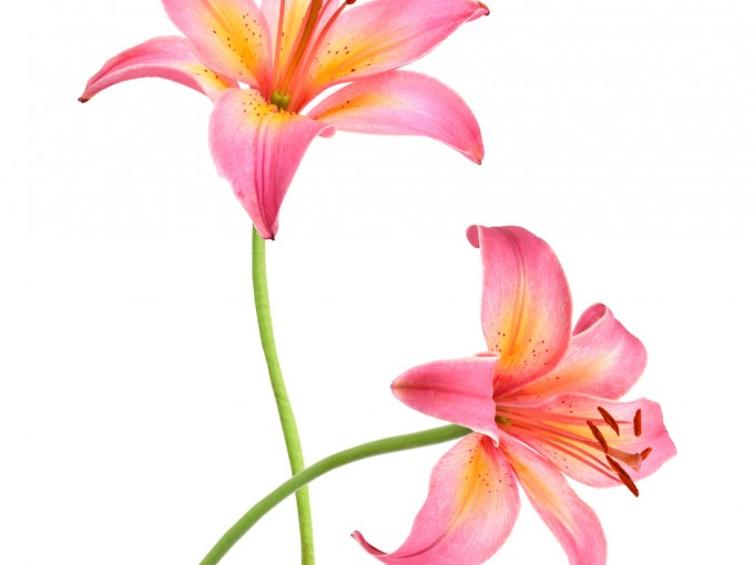 Por su fragancia es muy usada en la industria del perfume, pero también tiene propiedades medicinales. Puede usarse como aceite esencial y posee ácido mirístico, flavonoides, oxalato cálcico, mucílagos y taninos, por lo que es considerada una