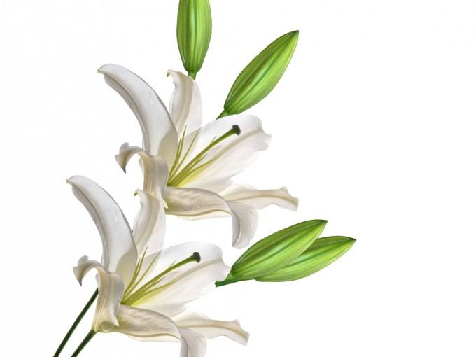 Los lirios son flores pertenecientes al género Lilium, familia de las Liliáceas, del orden de las Liliales. En algunas partes del mundo se les conoce como Azucenas, nombre que hace referencia a sus más de 110 especies