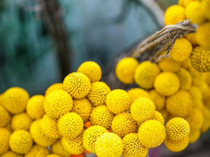 Las flores de Craspedia globosa son ideales para composiciones tanto en ramos florales de flores frescas como secas.