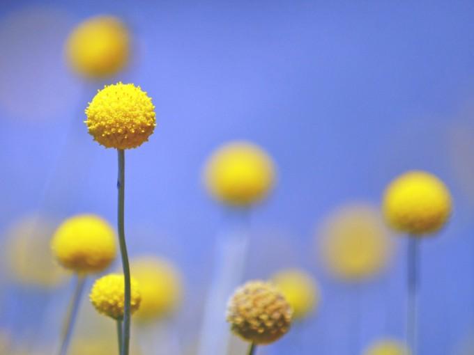 Es una planta anual originaria de Australia y Nueva Zelandia.