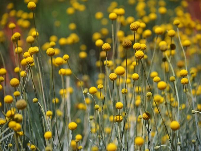 Es una flor alegre y de un amarillo muy vivo que en inglés lleva por nombre