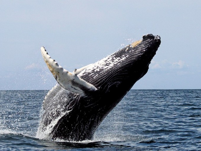 Si te gusta la fotografía, puedes ir a un tour de Avistamiento de Ballenas con Foto Safari. Foto: Wikipedia.