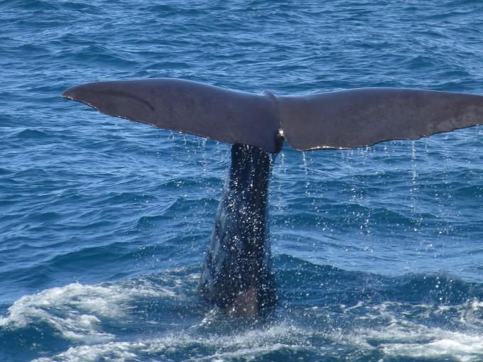 Avistamiento de Ballenas. Cada año la ballena jorobada se desplaza cada año miles de kilómetros de Alaska a las cálidas aguas de nuestro Pacífico Mexicano. Desde diciembre hasta mediados de abril podrás ser testigo de este extraordinario espectáculo natural. Foto: Pixabay
