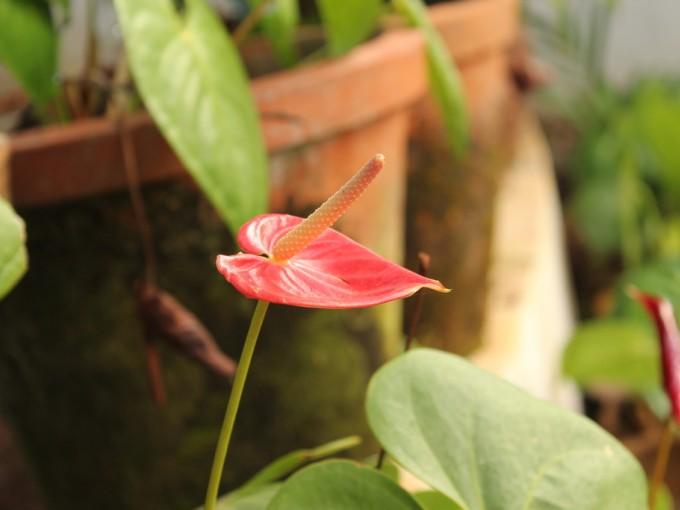 Los anturios son plantas muy hermosas con hojas gruesas, y flores de corazón o punta de flecha muy decorativas.