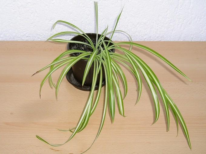 Necesita un riego moderado un par de veces a la semana, siempre procurando no formar charcos. En interior se adapta a zonas de baja luz o estancias frías. Funciona perfecto como planta colgante.