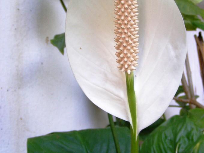 La cuna de moisés tiene gran capacidad para eliminar contaminantes que se acumulan dentro del hogar. Destaca por su elegancia, floración y resistencia.
