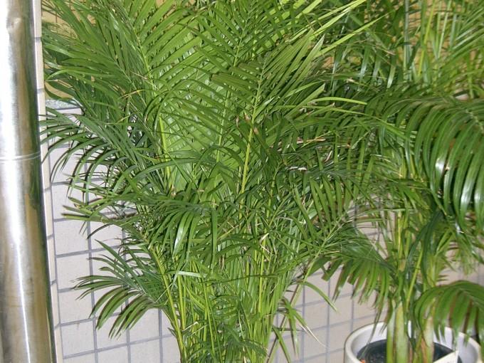 2. Palmera areca o palma amarilla (Chrysalidocarpus Lutescens) Origen:  Madagascar.