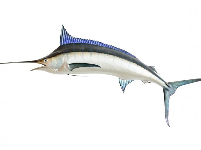 Pez espada, tiburón, cazón, lucio, tintorera y atún