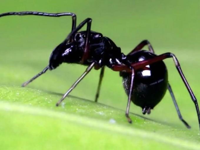 Araña  Toxeus magnus que da leche Fuente: Science