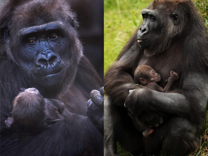Esta mamá gorila no puede dejar de abrazar y sonreír a su nuevo bebé