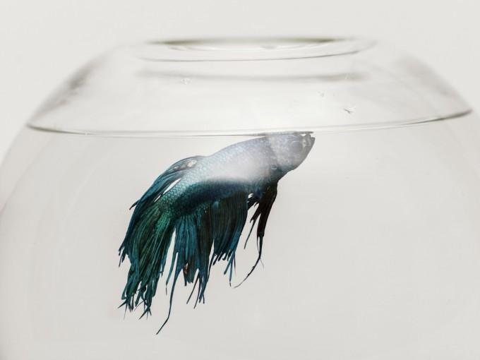 Una pecera pequeña es suficiente para un solo pez Foto: iStock
