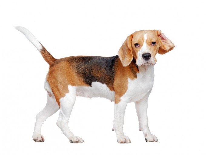 Los perros pueden oler el cáncer en la sangre con sorprendente precisión