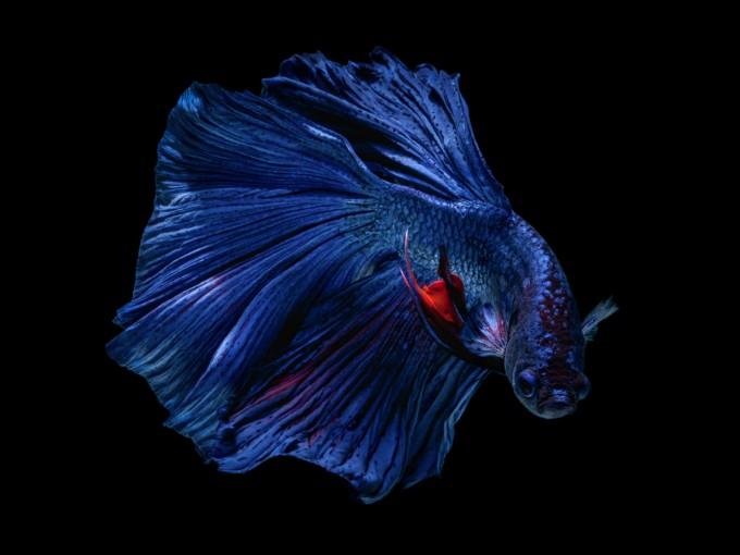 El pez beta es una buena opción, no requiere muchos cuidados.  Foto: iStock